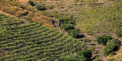 Vinyes de Manyetes