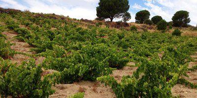 Rubor Viticultores