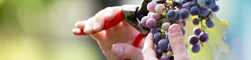 foto uvas y manos